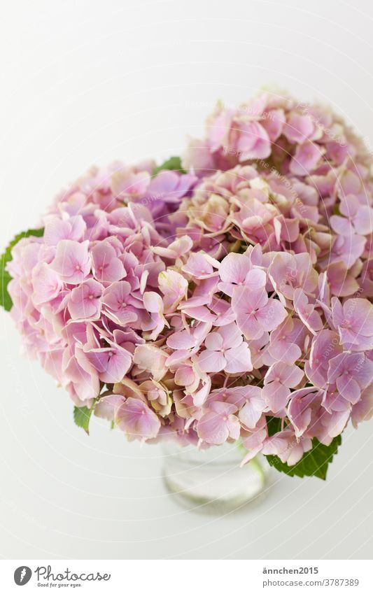 light pink hydrangea flowers in a glass vase Hydrangea Vase blossoms Summer Autumn Pink Blossom Blossoming Decoration Ostrich Green green leaves Nature Bright