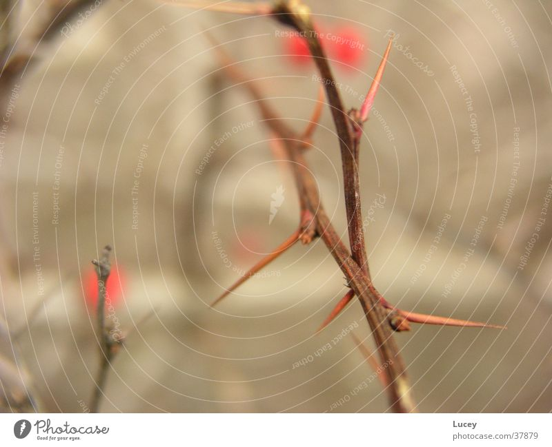 thorns Bushes Thorn Thorny Dangerous Blur Brown Red Berries fruits Point Threat Detail Sharp thing