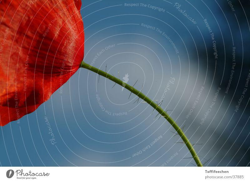 Nature Garden Poppy
