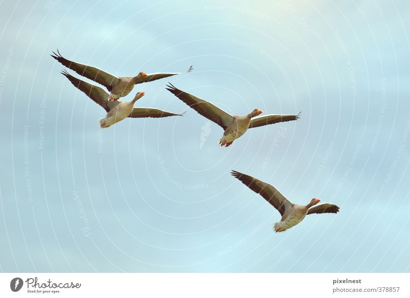 Wild geese in flight Animal Clouds Wild animal Bird Gray lag goose Wild goose 4 Flock Flying Free Blue Freedom Environmental protection Goose Migratory bird Sky