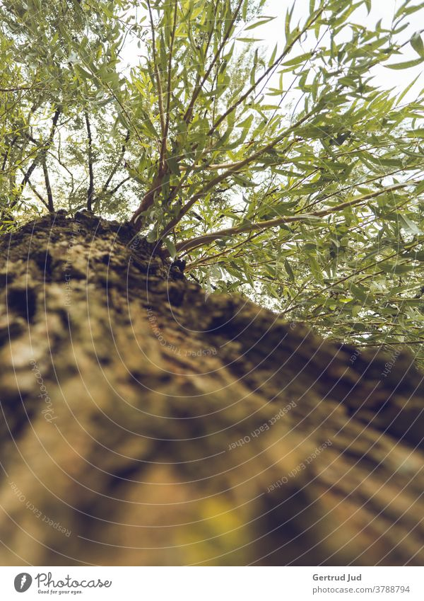 Tree trunk and crown from below towards the sky GWC Autumn Nature Landscape Forest Exterior shot Colour photo Deserted Day Plant Environment naturally Light