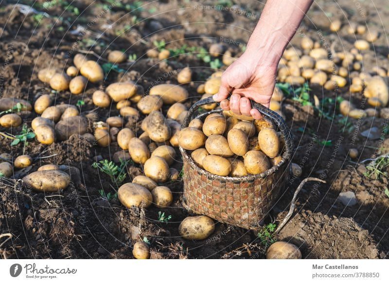 Man picking potatoes on the farm. Agricultural concept. Agriculture man harvest collect take out basket rural land tuber food ingredients people organic