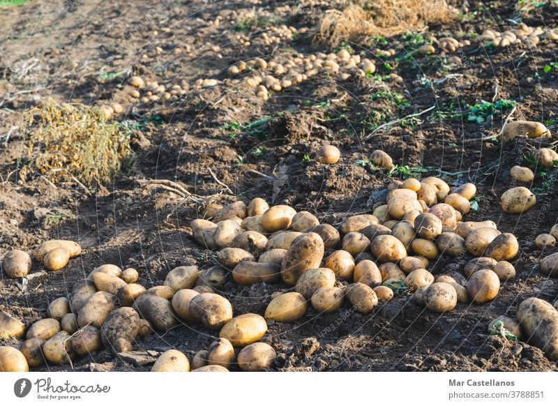 Potatoes thrown into the ground. Agriculture. potatoes harvest collect take out rural land farm tuber food ingredients organic sustainable pile harvesting