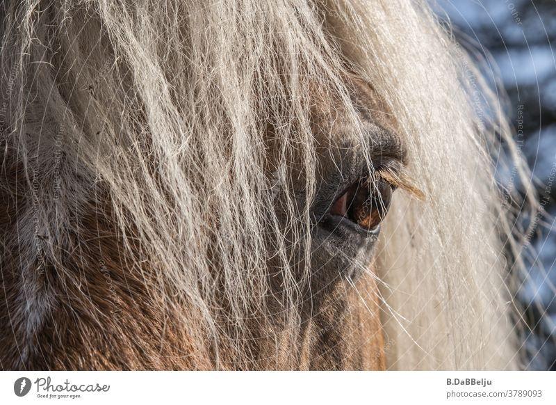 In the eye of the Haflinger. The blond horses - beauties of the Alps. Meran Tyrol Horse Horse's head Mane Eyes Mountain Animal Animal portrait Blonde blond mane