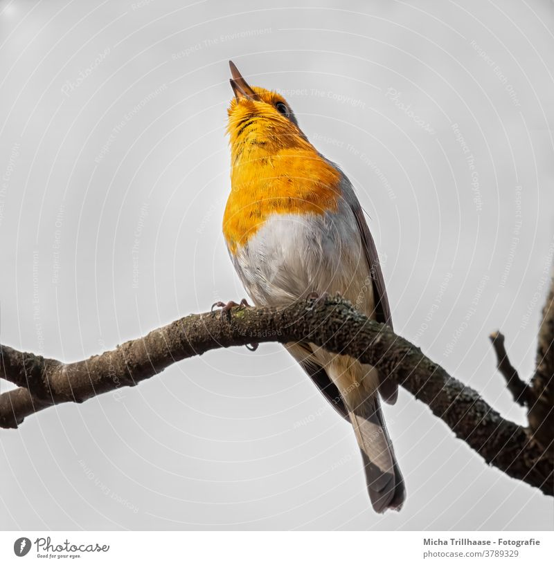 Singing robin Robin redbreast Erithacus rubecula Animal face Head Beak Eyes Feather Plumed Grand piano Claw Bird Wild animal Branch Tree Chirping Happiness