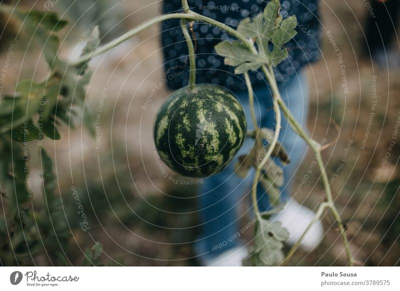 Child holding small watermellon watermelon Close-up Fruit juicy sweet Sweet Fresh Juicy Delicious food Colour photo Organic produce healthy Autumn Authentic