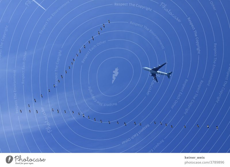 Travel fever and air traffic - flock of birds and an airplane in the blue sky Travel excitement flight voyage Long distance travel Vacation & Travel
