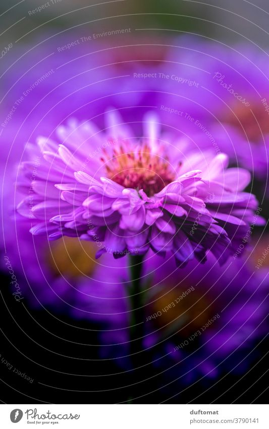 Macro recording of a purple aster Aster Violet Flower Blossom petals Pollen Pistil Plant Nature Close-up Garden Macro (Extreme close-up) Deserted Detail pretty