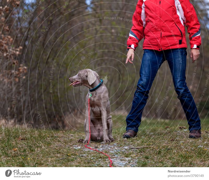 Disobedience and grumbling of a Weimaraner hunting dog during training mistress Rural Body language dog school puppy school weimaran puppy breed of dog