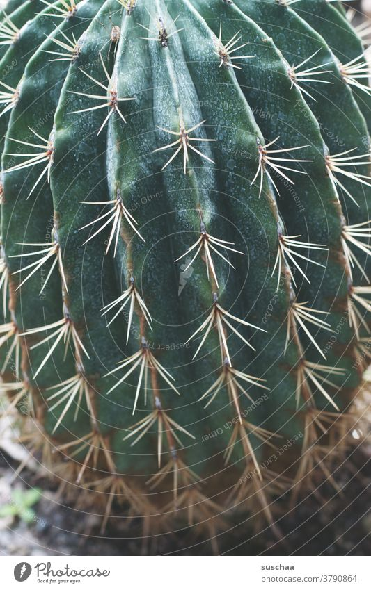 cactus Cactus Green Plant thorns peak Thorn Botany Thorny Exotic Pain Dangerous Pierce Desert Threat Houseplant Botanical gardens Greenhouse