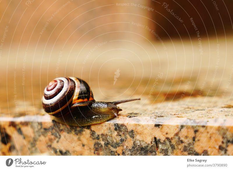 Garden band auger- edge slider Crumpet Snail shell Mucus Slowly Nature Colour photo Feeler Slimy Mollusk