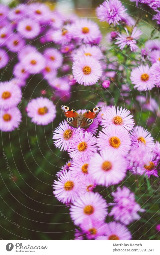 Butterfly on blossom butterfly wings Flower Blossom Autumn Autumnal Close-up Nature Plant Exterior shot Detail