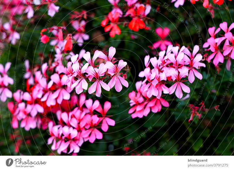 It's just a bunch of pink flowers in the garden. Flower pretty Pink petals Nature flora Beauty & Beauty Blossom Spring heyday Garden Plant Blossom leave