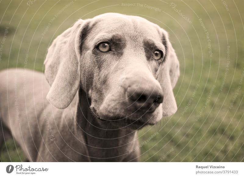 Portrait of a weimaraner dog on the grass. Sepia tone photography. animal pet puppy portrait canine cute grey brown breed labrador head isolated purebred hound