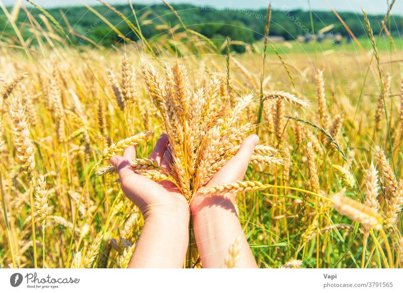 Wheat in the hands wheat field agriculture grain nature farmer harvest green forest trees rural gold crop summer background barley ears growth yellow food seed