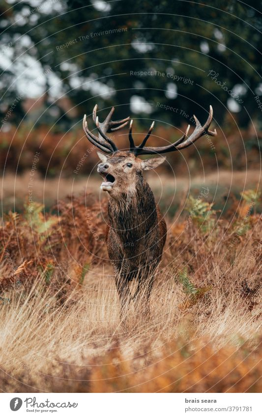 Red Deer (Cervus elaphus) Stag bellowing during the rut. deer horn mammal fall animal majestic tourism powerful october animals nature backgrounds calm