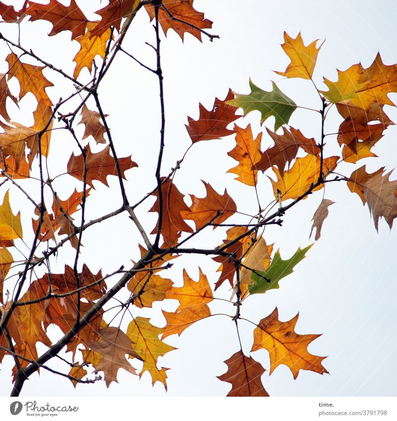 Autumn ahead (12) Leaf leaves autumn leaves Tree wither change Death Colour Branch Maple tree Indian Summer Development Transformation Sky