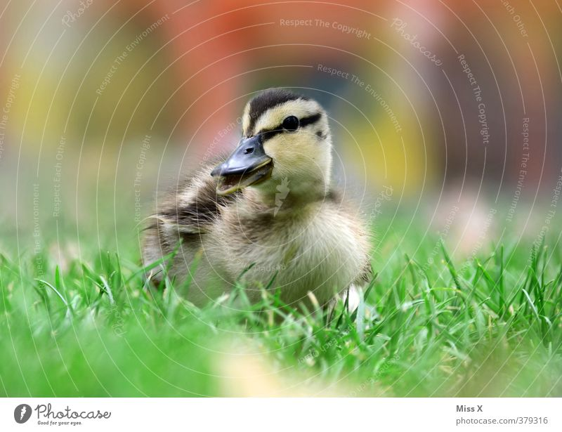 sweet thing Grass Pond Animal Bird 1 Baby animal Small Cute Chick Duck Curiosity Beak chatter Waddle Quack Colour photo Multicoloured Exterior shot Close-up