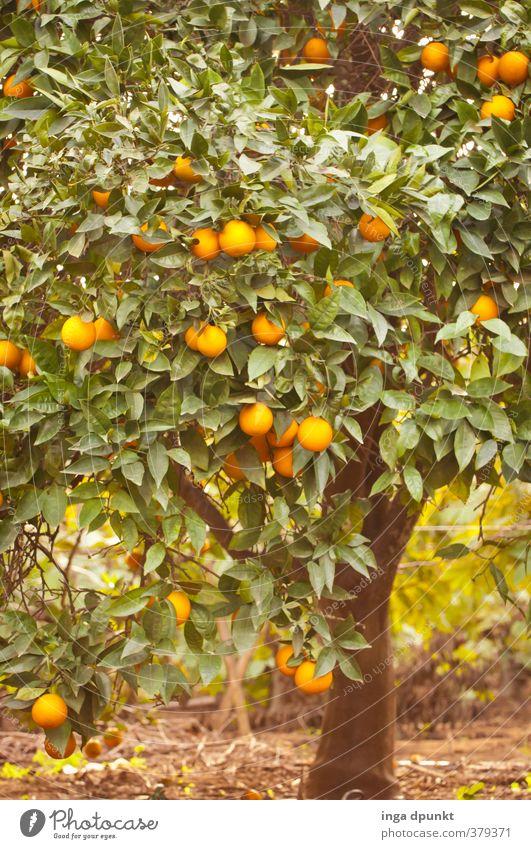 orange grove Environment Nature Landscape Plant Tree Agricultural crop Exotic Agriculture Orange Fruit Citrus fruits Fruit trees Fuit growing Plantation
