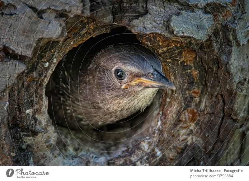 Young star looks out of the nest Starling Chick Sturnus vulgaris Nesting place breeding den Baby animal Animal face Head Beak Eyes Feather Plumed Bird