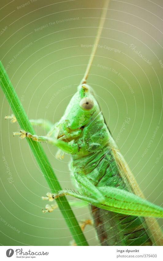 flip Environment Nature Animal Wild animal Insect Locust 1 Friendliness Green Feeler Grass Nature reserve Biology Endangered species Natural Colour photo