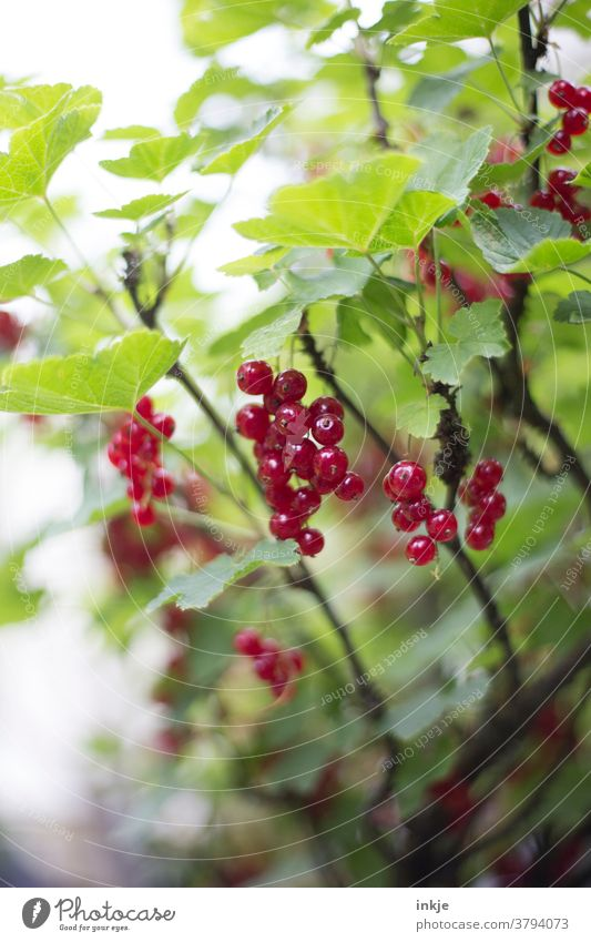ripe currants on the bush Colour photo Redcurrant shrub Harvest Summer Mature Green Close-up Garden Shallow depth of field Juicy Suspended naturally Fruit Food