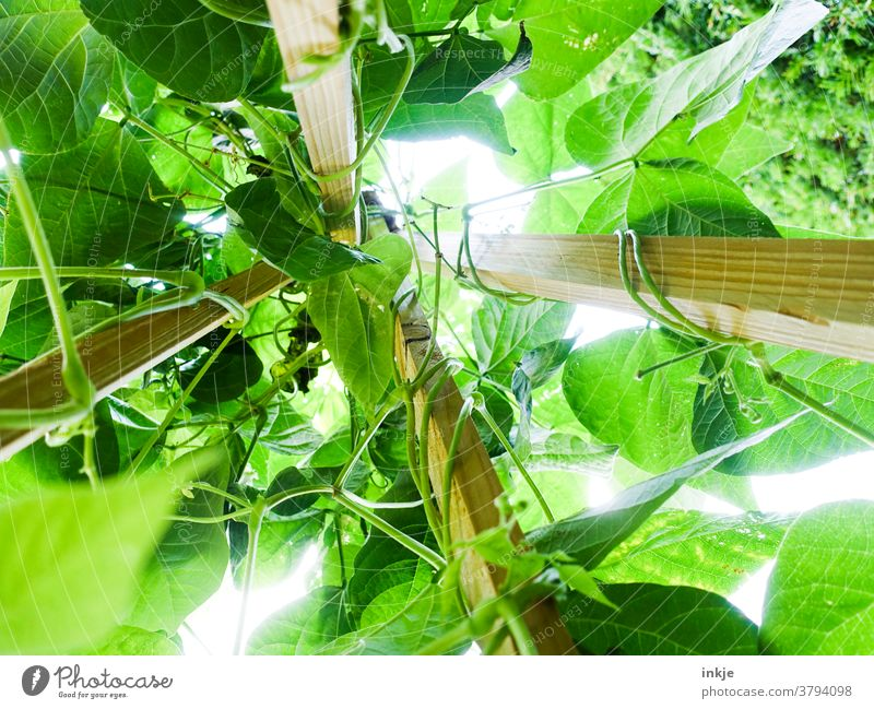 Runner beans from the frog's eye view runner beans Worm's-eye view Green Growth Summer Harvest Tall Above vine Bright green proliferate poles Garden Nutrition