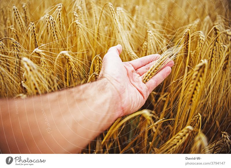 Food Grain in a field Hand harvest season food products Nutrition Field Grain field Mature Harvest peasant Agriculture feel