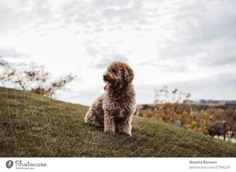 A beautiful Spanish water dog sitting on the meadow in a cloudy day in Madrid. The brown dog is looking at something while enjoying the day in the park. Pets outdoors