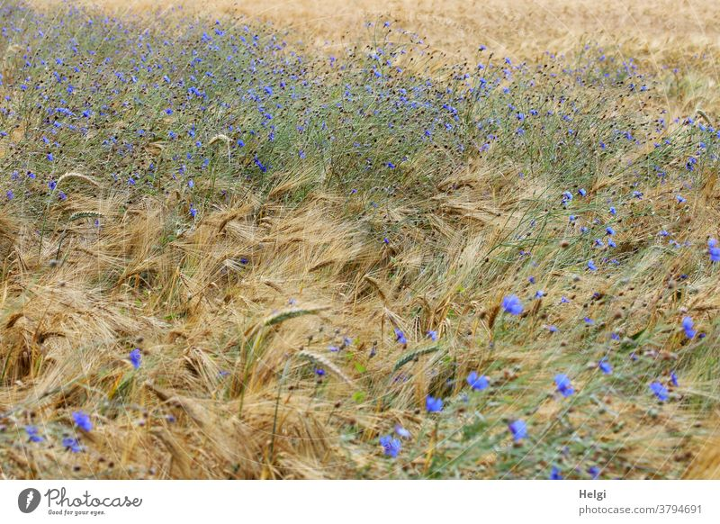 Colour combination | Cornflowers bloom in the barley field Cornfield Barleyfield Grain blossom Agriculture Summer wax Field Nature Grain field Ear of corn