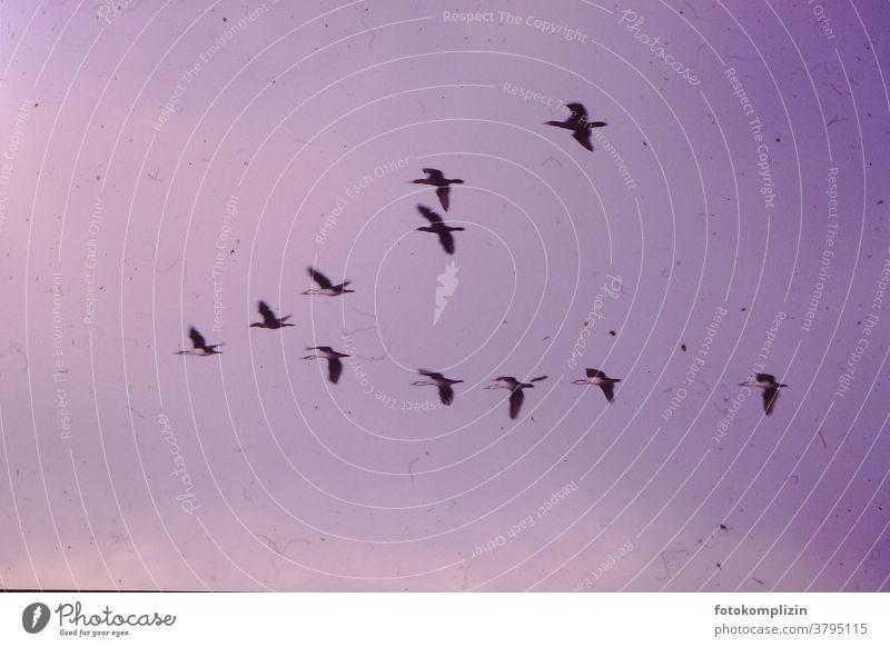 rosa vergilbtes Foto von fliegenden Zugvögel Flug Vogelwelt Himmel Vögel consonant Silhouette Floating Flying flight return flight swans Swan