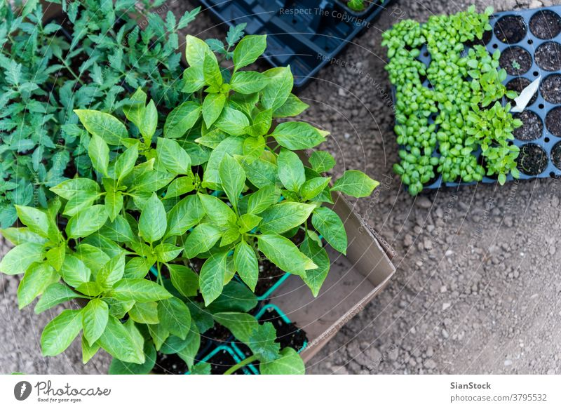 Young plants growing out of soil on the field basil pepper tomatoes botanical tomato plant leaf gardening growth seedling green pot young cultivate earth nature