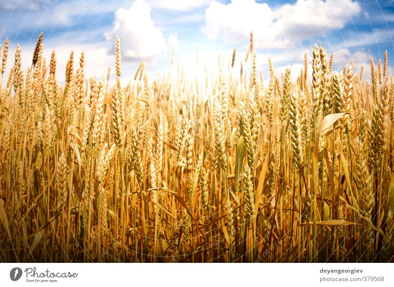 Cereal crops and sunlight Summer Sun Nature Landscape Plant Sky Clouds Horizon Meadow Growth Bright Blue Yellow Gold Wheat field Farm Crops agriculture seed