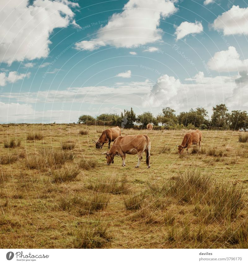 Brown cows pasturing in a green meadow with a beautiful blue sky with clouds in the background. agriculture animal asturias beef bovine breed brown cattle