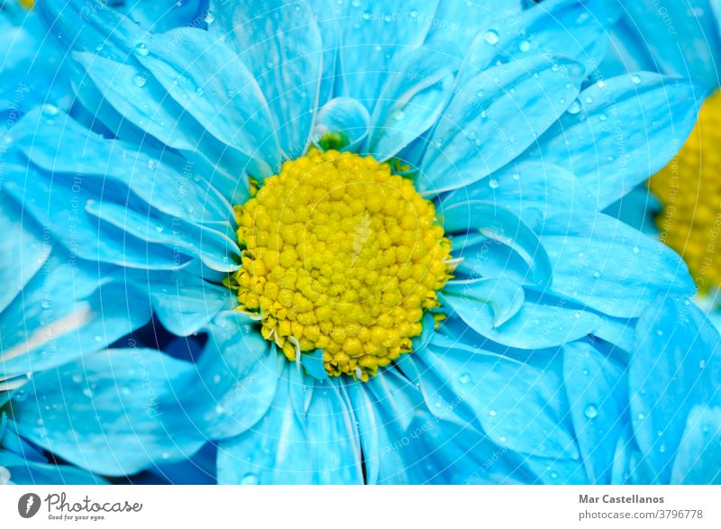 Daisy flower with blue petals. flowers macro floral daisy background nature summer plant spring meadow beautiful yellow beauty natural garden field growth