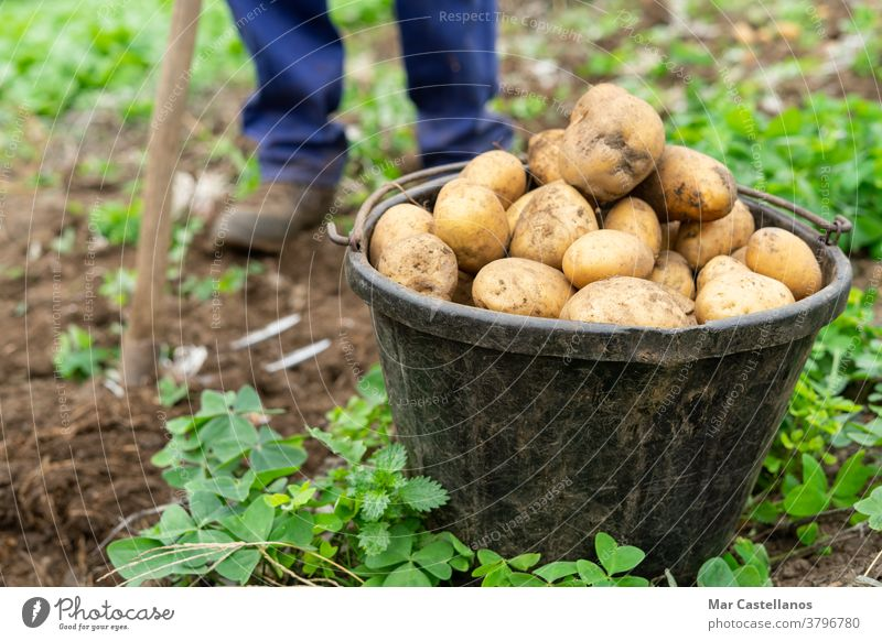 Man with bucket full of freshly harvested potatoes Agricultural concept. Agriculture man collect take out basket rural land farm tuber food ingredients people