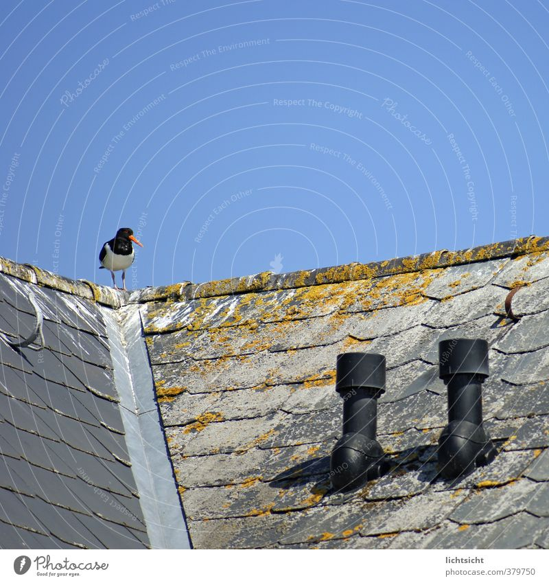 bird slide Cloudless sky Beautiful weather Coast North Sea Ocean House (Residential Structure) Roof Eaves Chimney Bird 1 Animal Idyll Oyster catcher Weathered