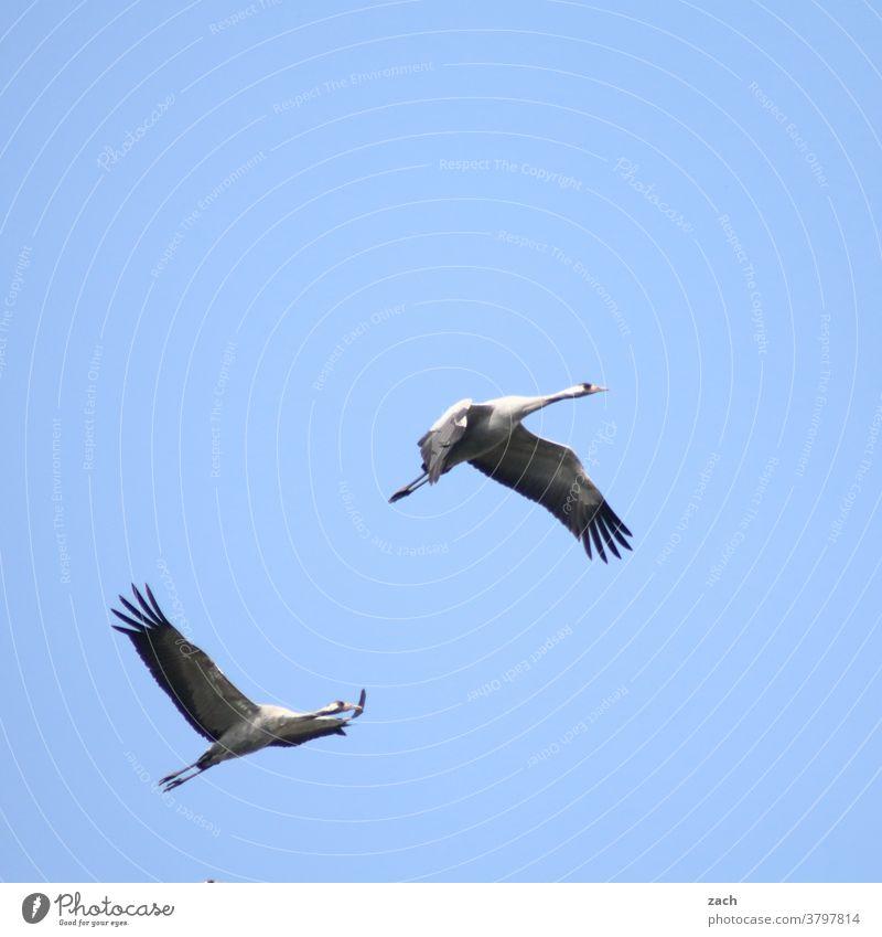 return flight Bird Animal Sky Nature Environment Blue 2 two birds Flying Crane Cranes in the sky Grand piano