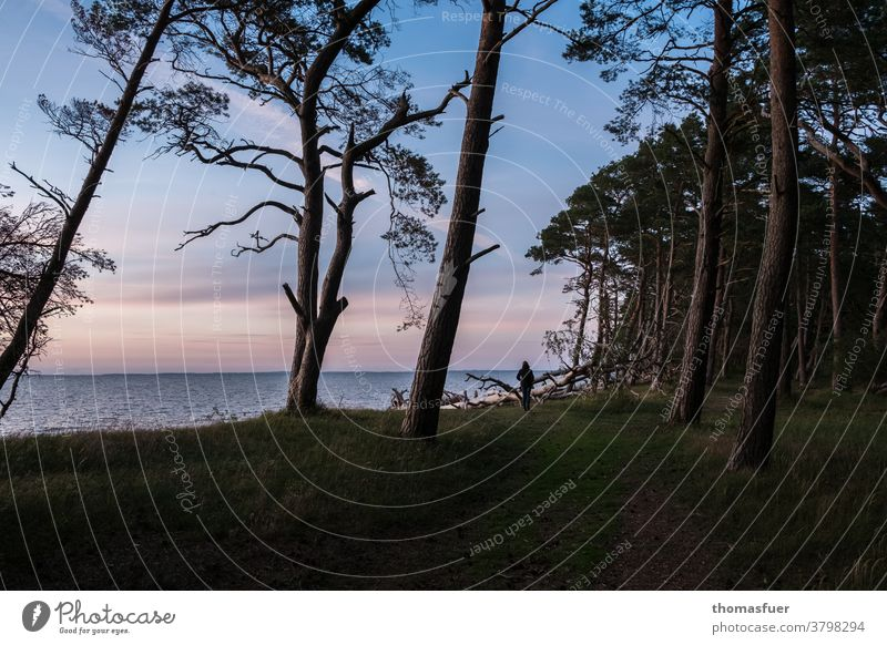 Twilight at a western beach of the Baltic Sea with pines formed by the wind, beach sea and lonely woman Ocean Nature Vacation & Travel Landscape Sky coast Beach