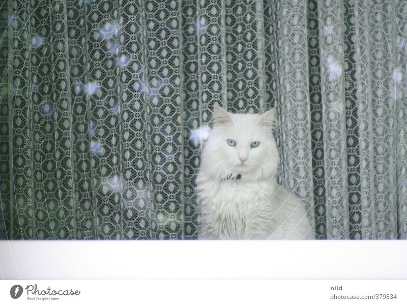 silent observer Living or residing Flat (apartment) Curtain Drape House (Residential Structure) Window Animal Pet Cat 1 Observe Discover Cuddly Curiosity Gloomy