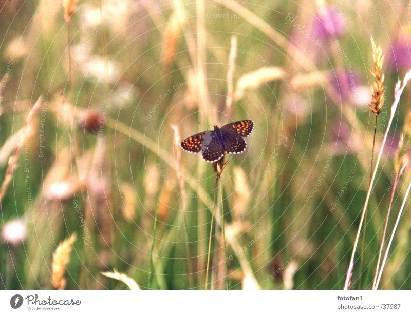 little butterfly Butterfly Grass Transport papillon