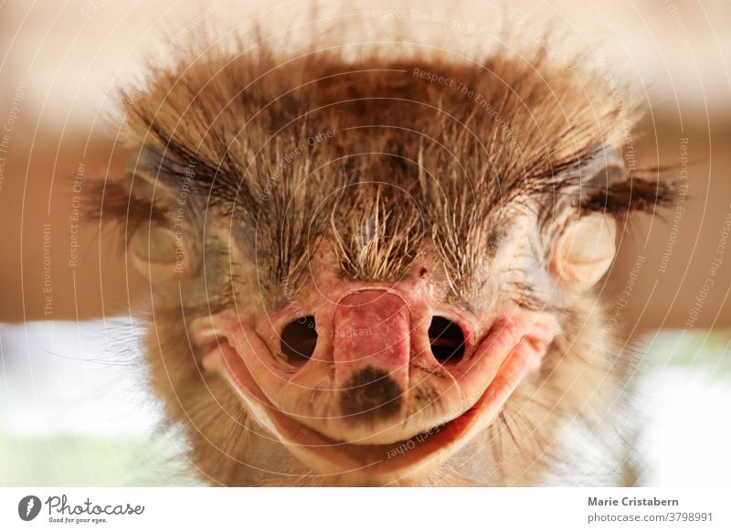 Close up frontal view of a smiling Common ostrich bird or Struthio camelus common ostrich bird smile smiling ostrich close up humor funny happiness fowl unique