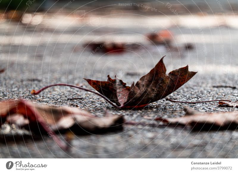 Autumnal, wilted leaves on the street Autumn leaves November October wet road Asphalt Rainy weather Slippery surface slippery November mood Weather Fog Leaf