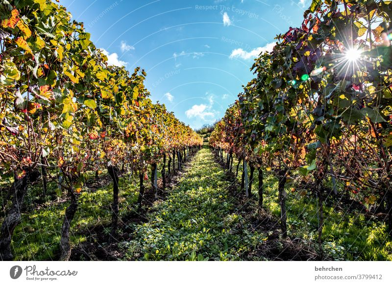 sunshine wine Sunbeam Autumn leaves Green Agriculture Mountain Clouds Environment Beautiful weather Trip Nature Landscape Exterior shot Vine Bunch of grapes