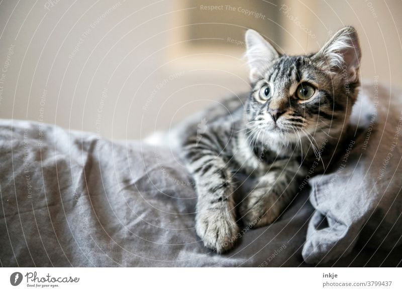 The cat that's a tomcat. Cat kitten animal portrait Close-up mackerelled Colour photo Cute observantly ambush Pet tame youthful Looking Gray