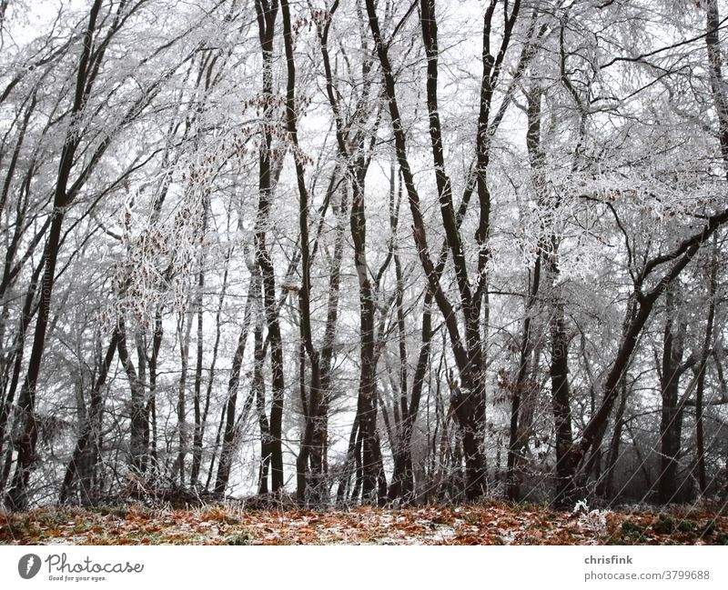 Forest with icy trees and foliage Winter Snow Ice Autumn Mature trunk Twig Leaf Cold chill Christmas lockdown Sky