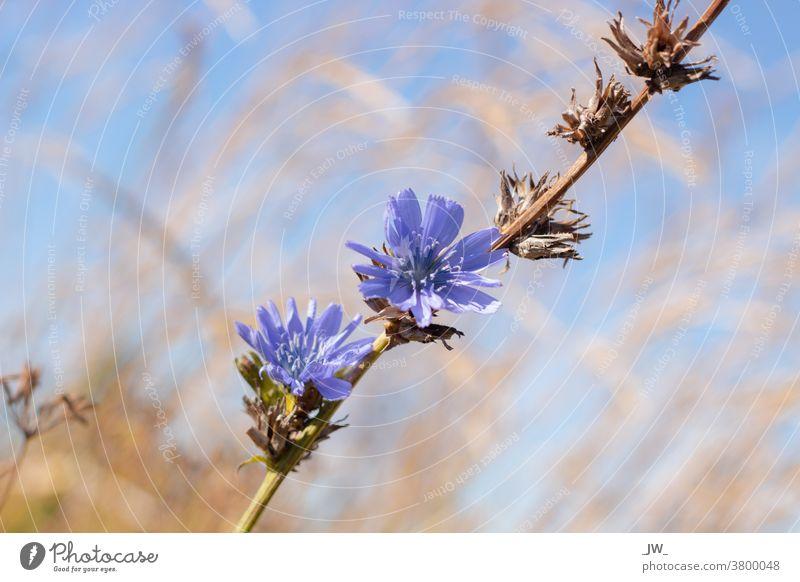 Cornflower before blue sky Flower Blue Blossom Field Exterior shot Blossoming Nature Green Shallow depth of field