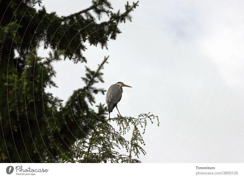 Helpless heron on too fragile landing field Heron Bird Animal Landing Strip Tree top Twig Nature Deserted Sky cloudy