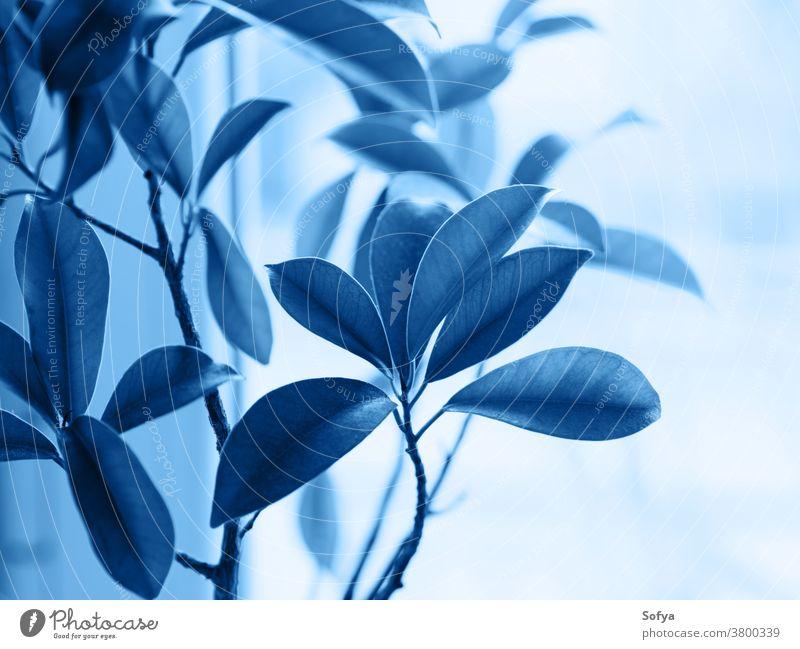 Ficus ginseng bonsai plant. Classic blue 2020 classic color botanical foliage deep ficus navy leaves grow home japanese classical garden nature window light pot