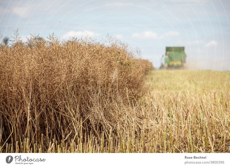 Harvest rape field Canola Canola field Field Agriculture Landscape Agricultural crop Colour photo Day Deserted Beautiful weather